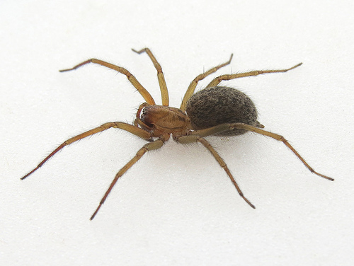 How to Repel Funnel Web Spiders/Hobo Spiders