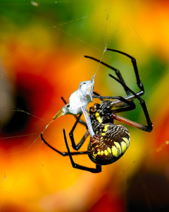 Get rid of spiders with natural spider repellents Natural spider repellent