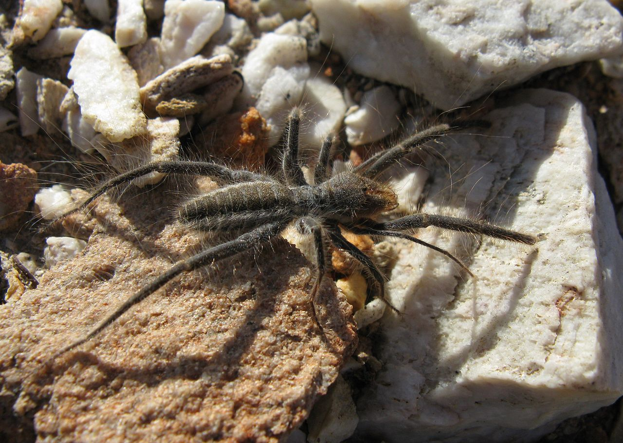 Solfugid_in_veld_near_Uniondale_(Western_Cape)_1600