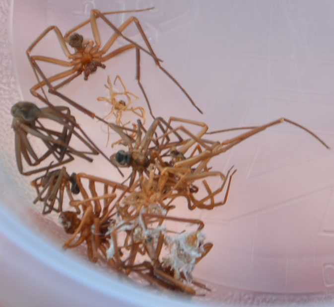 brown recluse infestation
