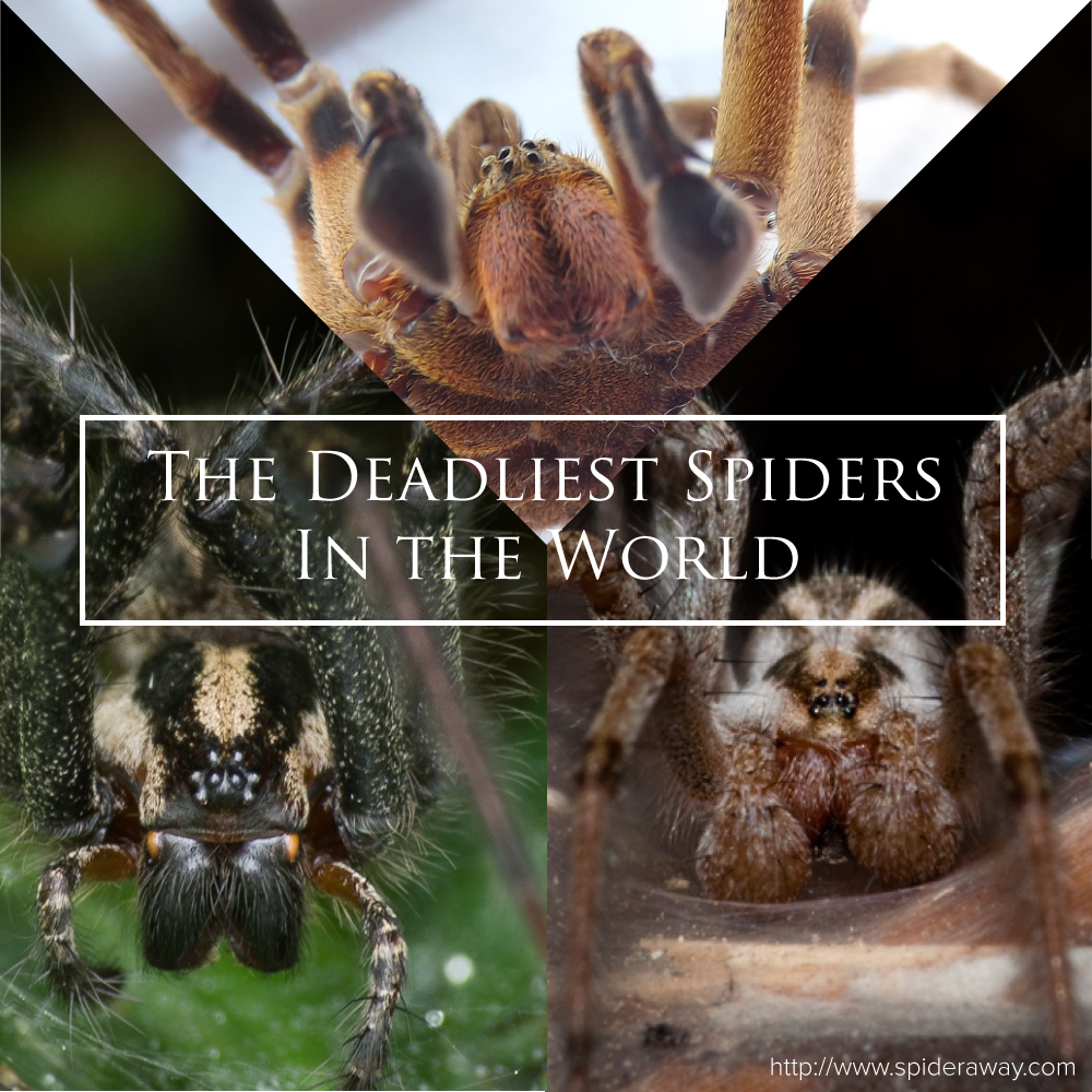 most-venomous-spiders-in-the-world2