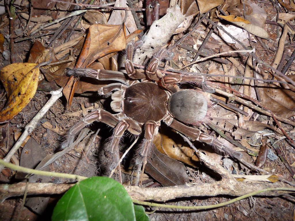 goliath bird eating spider