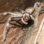 What is a Huntsman Spider?